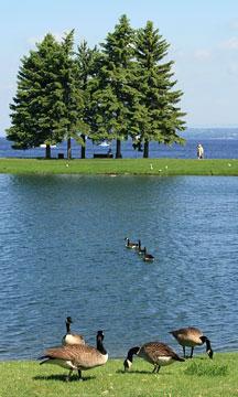 Canada geese in Andrew Haydon Park, Ottawa