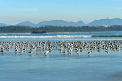 birds on Long Beach, Tofino, British Columbia