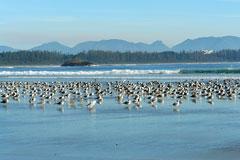 birds on Long Beach, Tofino, British Columbia